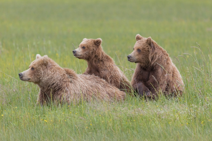 Lake Clark Photography Costal Brown Bears
