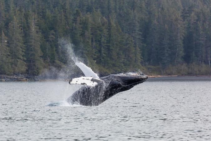 Humpback Whale Watching Alaska