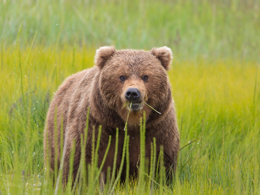 Brown Bear Photography Tours With Hugh Rose