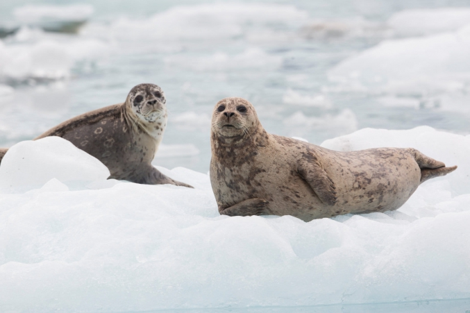 Seals On Floating Ice