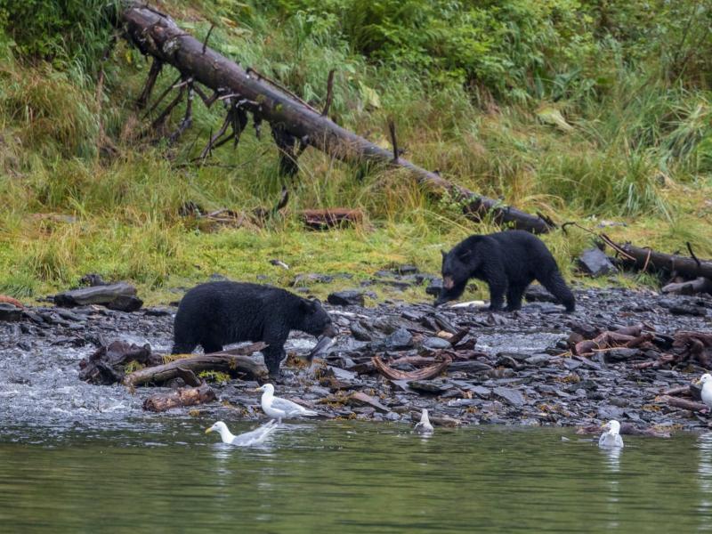 Black Bear Viewing Alaska