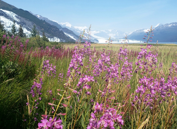 AK Glaciers And Fireweed