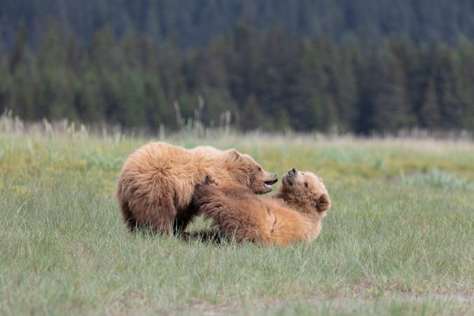 Alaska Photo Bear Trips