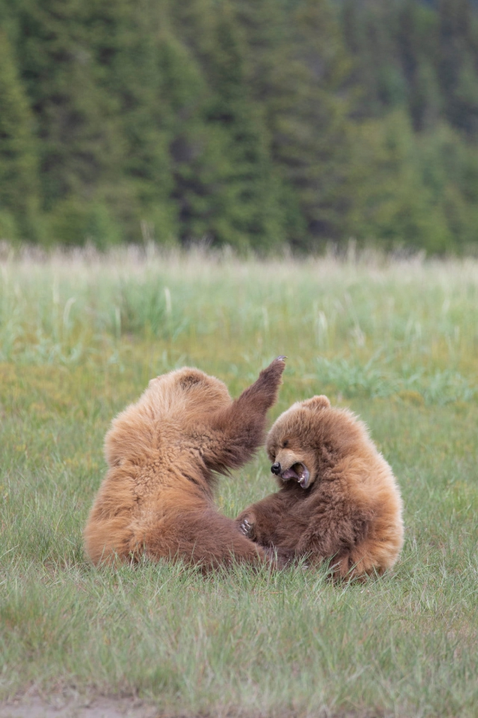 Alaska Bear Photography Tours