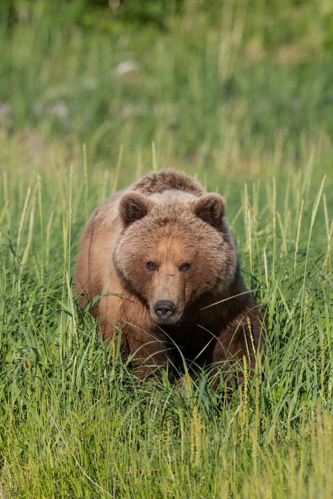 AK Brown Bear Photography Tours