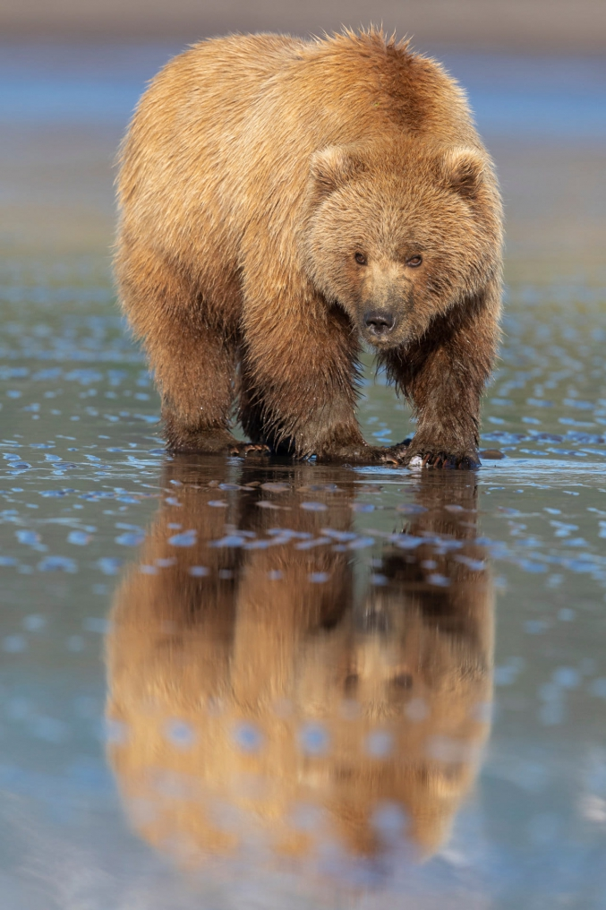 Brown Bear Digging For Clams