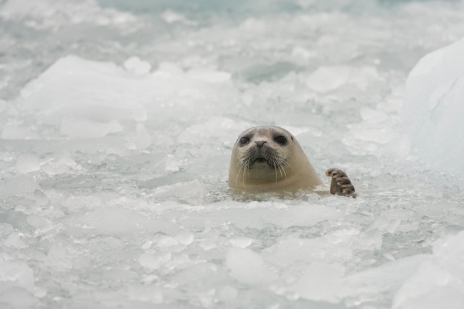 Seal In PWS Ice