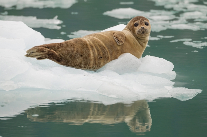 AK Seal On Ice In Harbor