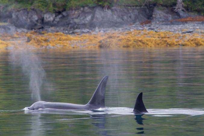 Alaska Oarca Whale Watching