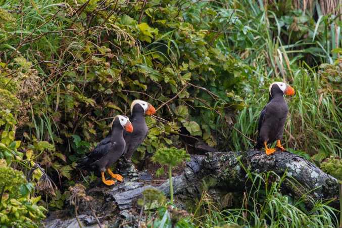 Custom Puffin Photo Tours