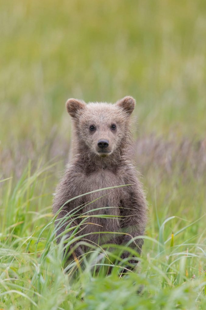 Brown Bear Cub Photo Tours