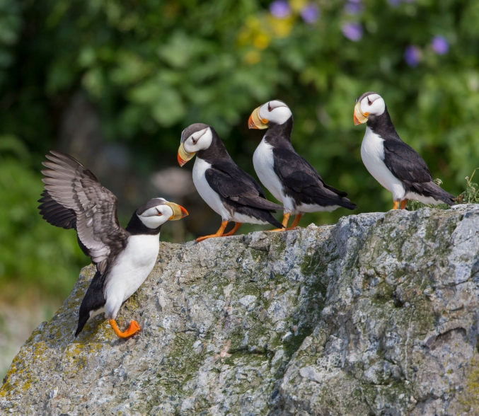 Lake Clark Photo Tours Puffins