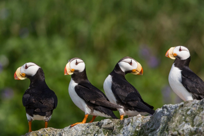 Lake Clark Puffin Photography Tours