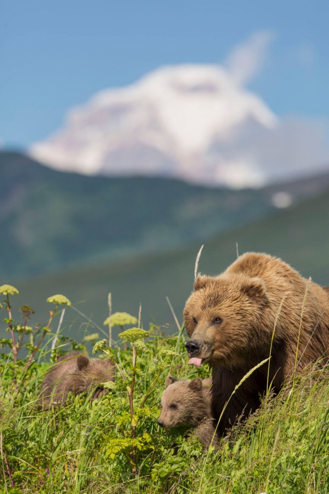 Brown Bear With Cubs Photo Tour
