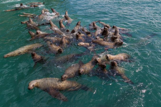 Alaska Seals