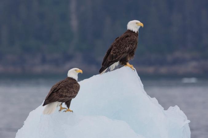 AK Bald Eagles