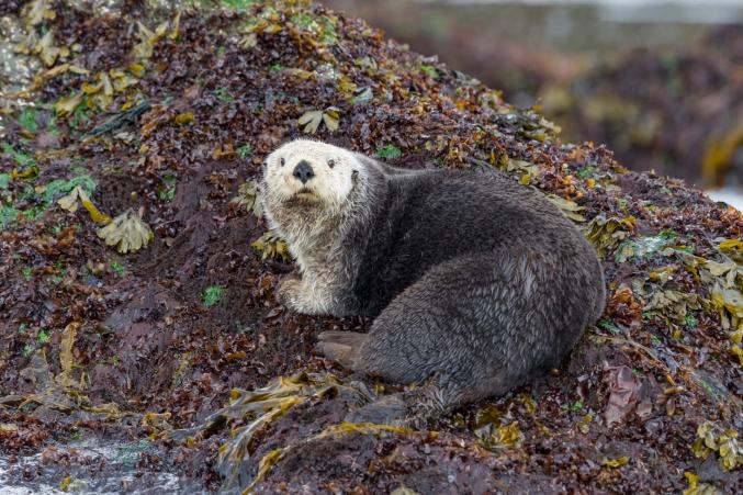 Otter Ak